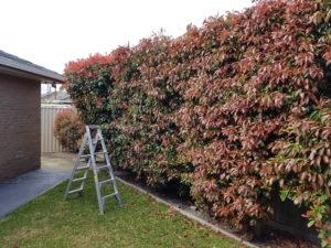 Hedge Before Photo Ladder