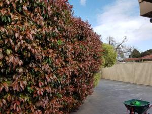 Hedge Before Photo