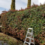 Ladder and Hedge Photo